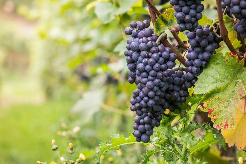 Grappes de raisin pour pinot noir